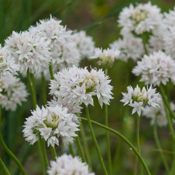 Allium 'Graceful'