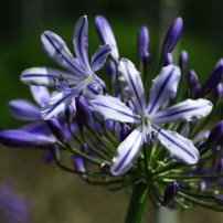 agapanthus_stars_and_stripes_2