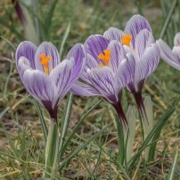 Crocus vernus 'Striped Beauty'
