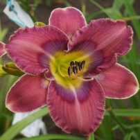 daylily-doctor-who-2