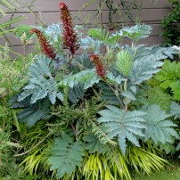 melianthus-major